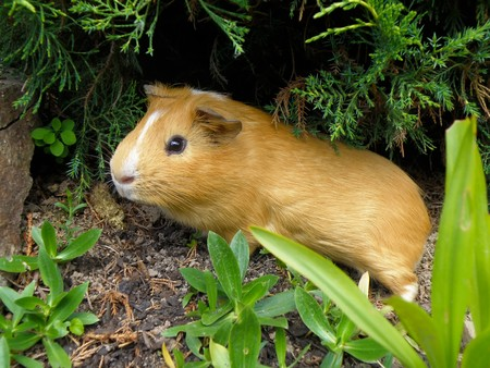 nice little guniea pig in wild nature