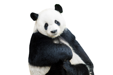Photo pour Adorable giant panda facing camera isolated over white - image libre de droit
