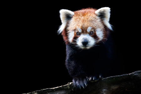Foto de Portrait of a red panda (Ailurus fulgens) isolated on black background - Imagen libre de derechos