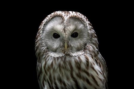 Photo for Ural owl (Strix uralensis). Nocturnal owl on black background - Royalty Free Image