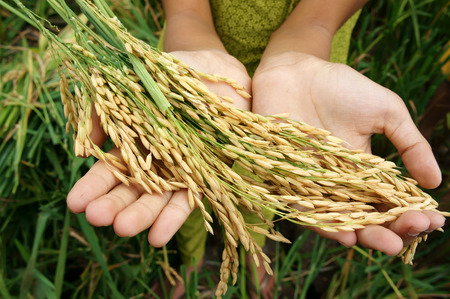 Foto de World food security, a global problem, famine at africa, children need to help, poor people need food to live, kid hand with sheaf of paddy on Asia rice field - Imagen libre de derechos