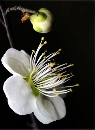 Plant, plum