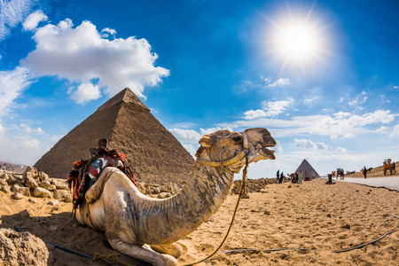 Photo for Camel in the Egyptian desert with the pyramids of Giza in the background - Royalty Free Image