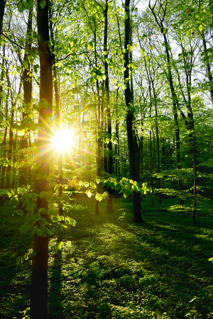 Photo pour Forest in spring at sunrise - image libre de droit