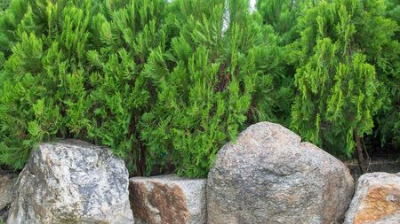 Green leaf of pine tree and stone or rock on the bottom for background.