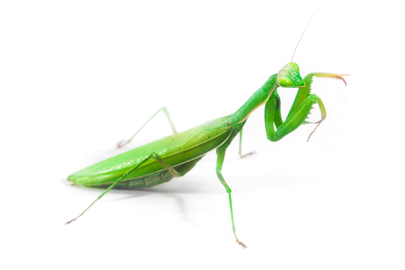 Photo pour European Mantis or Praying Mantis, Mantis religiosa, on isolated white background - image libre de droit