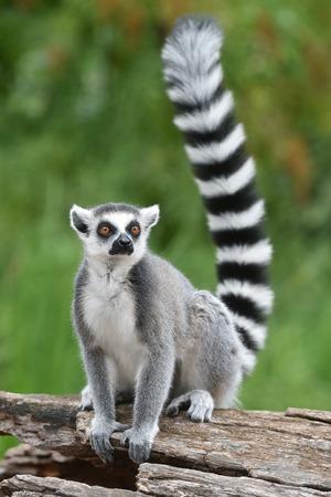 Foto de Ring-tailed lemur - Imagen libre de derechos