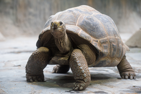 Photo for Aldabra giant tortoise - Royalty Free Image