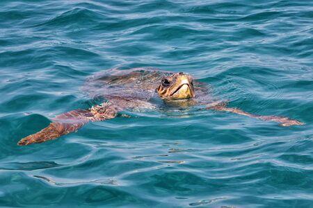 Photo pour Caretta Caretta Turtle from Zakynthos, Greece, near  Laganas beach, emerges to take a breath - image libre de droit