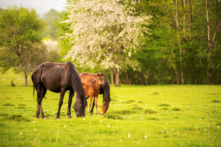 Photo for Mother horse with her foal grazing on a spring green pasture against a background of green forest in the setting sun - Royalty Free Image