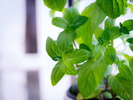 Photo for Green fresh mint in the pot, selective focus - Royalty Free Image