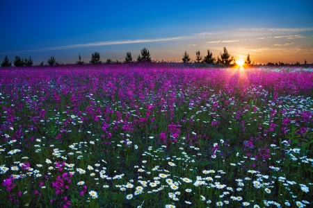 Photo pour sunrise over a blossoming field - image libre de droit