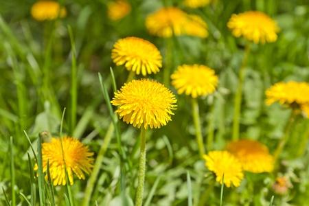Foto de Yellow dandelions in a garden - Imagen libre de derechos