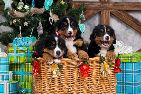 Photo pour Dog breed Bernese Mountain Dog puppy, Christmas and New Year. - image libre de droit