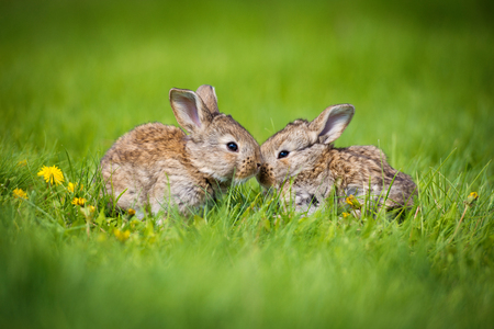 Photo for Cute two little hare sitting in the grass. Picturesque habitat, life in the meadow - Royalty Free Image