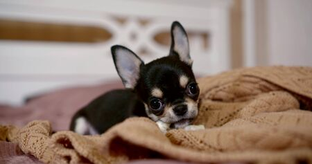 Photo pour Close-up portrait of a miniature Chihuahua dog is on the bed on a soft blanket, scratching his teeth, nibbling a toy. - image libre de droit