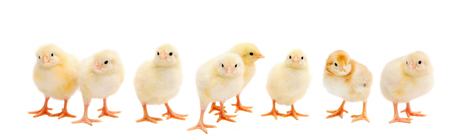 Photo pour Panorama of brood little yellow chicks isolated on white background. Farm incubator chickens on walk. - image libre de droit