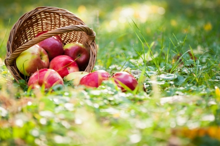 Photo for Basket of apples scattered on grass in autumn garden - Royalty Free Image