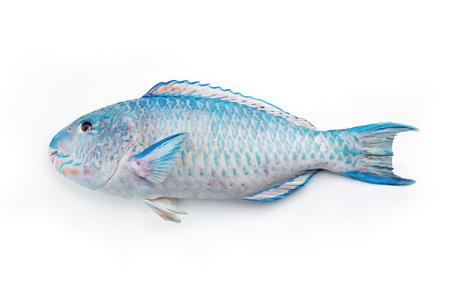 Foto de Fresh saltwater parrotfish as top view on white background with copy space � isolated - Imagen libre de derechos