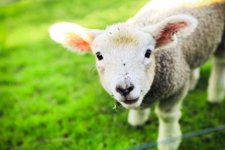 Photo pour mary had a little lamb - image libre de droit
