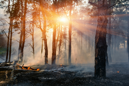 Photo for fire. wildfire, burning pine forest in the smoke and flames. - Royalty Free Image