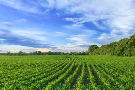 Foto für Corn field - Lizenzfreies Bild
