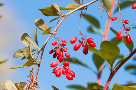 Photo for Branch of common barberry on sky background. European barberry red fruits. - Royalty Free Image