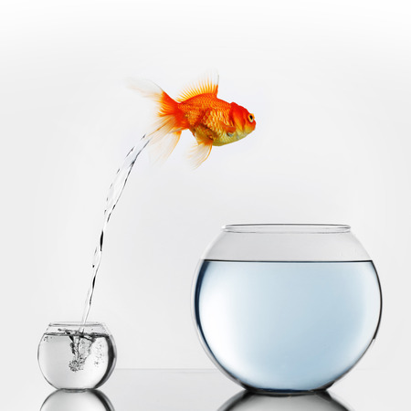 Photo pour Gold fish jumping out of small to big fishbowl - image libre de droit