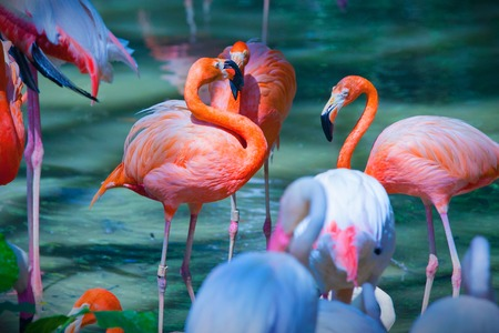 Photo pour Group of pink flamingos feeding on water close up - image libre de droit