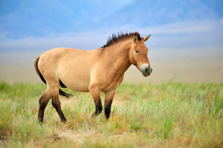 Photo pour Przewalski horses in the Altyn Emel National Park in Kazakhstan. The Przewalski's horse or Dzungarian horse, is a rare and endangered subspecies of a wild horse. The Przewalski's horse has never been domesticated and remains the only true wild horse in the world today. - image libre de droit