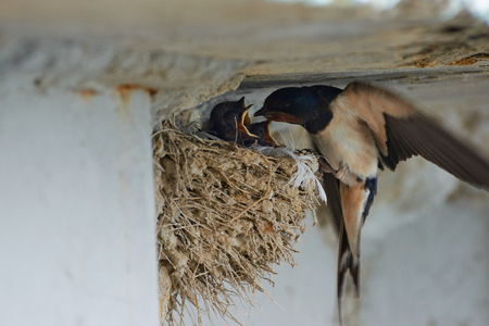 Photo for Nest of swallows. The swallows and martins, or Hirundinidae, are of the family of the passerine birds. - Royalty Free Image