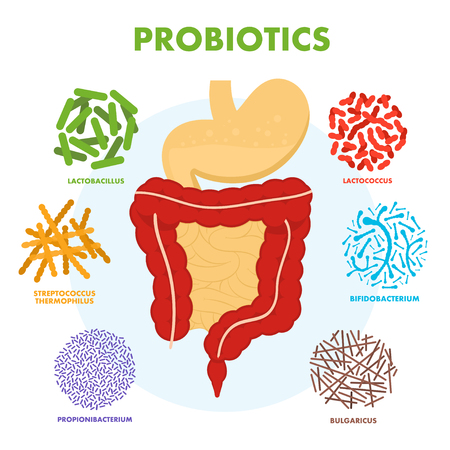 Illustration for Human digestive tract system with probiotics. Human intestine microflora. Microscopic probiotics, good bacterial flora, viruses in intestine. Vector - Royalty Free Image