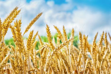 Foto de Wheat field, fresh crop of wheat - Imagen libre de derechos