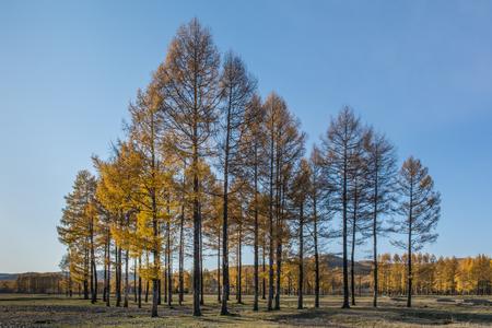 Photo pour Larch in autumn - image libre de droit