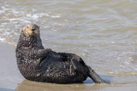 Foto de Alert Sea Otter in Moss Landing State Beach. Monterey Bay, California, USA. - Imagen libre de derechos