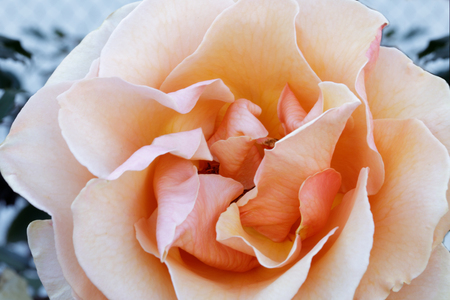 Photo for Apricot Hybrid Tea Rose  Details. Northern California, USA. - Royalty Free Image