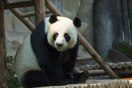 Photo pour Image of a panda on nature background. Wild Animals. - image libre de droit