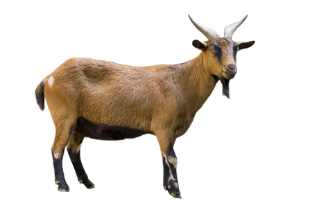 Photo pour Image of a brown goat on white background. Farm Animals. - image libre de droit