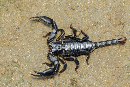 Photo for Image of emperor scorpion (Pandinus imperator) on the ground. Insect. Animal. - Royalty Free Image