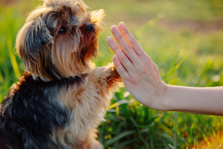 Photo for Yorkshire terrier gives paw his owner closeup with human hand - Royalty Free Image
