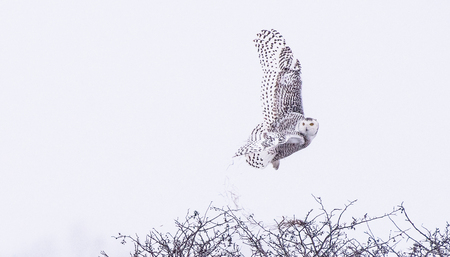 Photo for White Flying snow Owl - Royalty Free Image