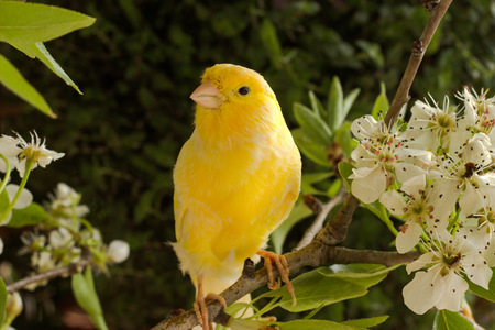 Photo pour canary bird on a flowering branch. - image libre de droit