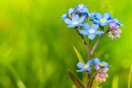 Photo pour Forget-me-not growing in the garden. - image libre de droit