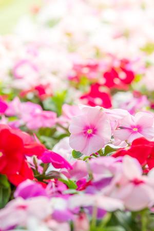 Foto de Vinca rosea flowers blossom in the garden, foliage variety of colors flowers - Imagen libre de derechos