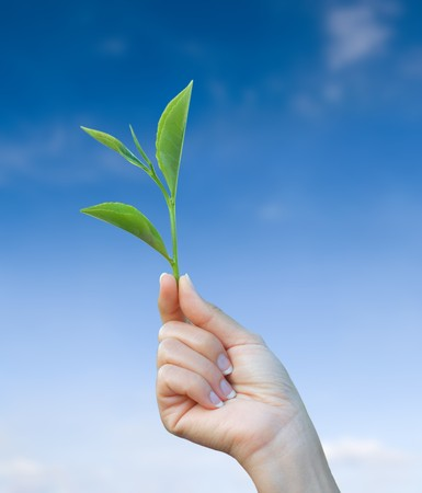 hand holding green tea leaf with blue sky background