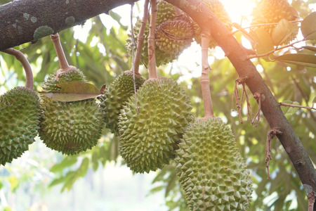 Photo for durian farm , musang king in focus - Royalty Free Image