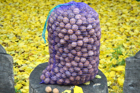 Photo for Mesh bag full of walnuts in the harvest season - Royalty Free Image