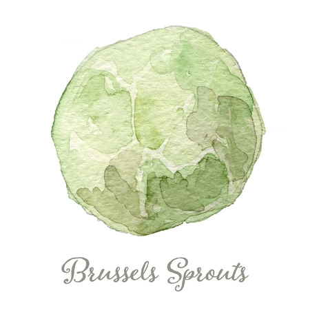 Watercolor brussels sprouts- hand painted vector illustration