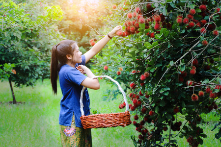 Foto per Beautiful Asian young girl picking rambutan fruit from tree on lovely sunny summer day - Immagine Royalty Free