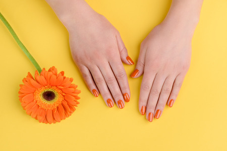 Foto de Gerbera flower and woman hands on yellow background. Nails polished with orange lacquer. - Imagen libre de derechos